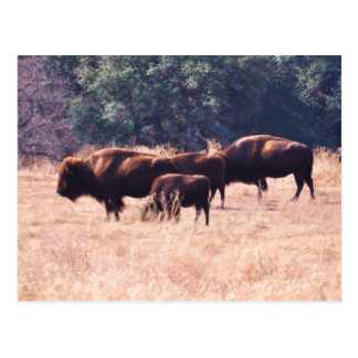 Bison at LBJ Park Postcard