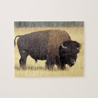 bison, Bison bison, bull in Yellowstone National Jigsaw Puzzle