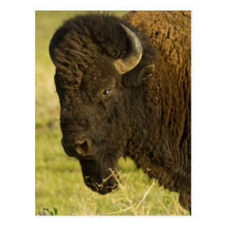 Bison bull at the National Bison Range, Postcard