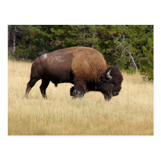 Bison Bull in Yellowstone National Park Postcard
