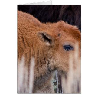 Bison Calf Card