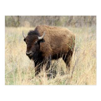 Bison Cow in Flint Hills, Kansas Postcard