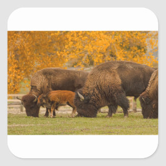 Bison Family Nation Square Sticker