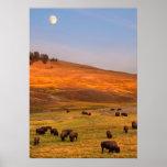 Bison Grazing on Hill at Hayden Valley Poster
