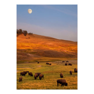 Bison Grazing on Hill at Hayden Valley Poster