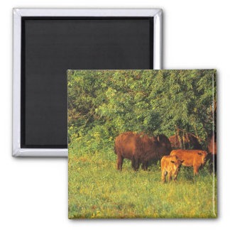 Bison Herd at Neil Smith NWR in Iowa Square Magnet