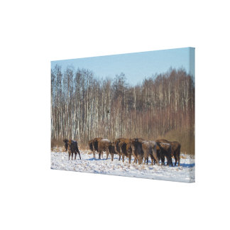 Bison Herd Canvas Print