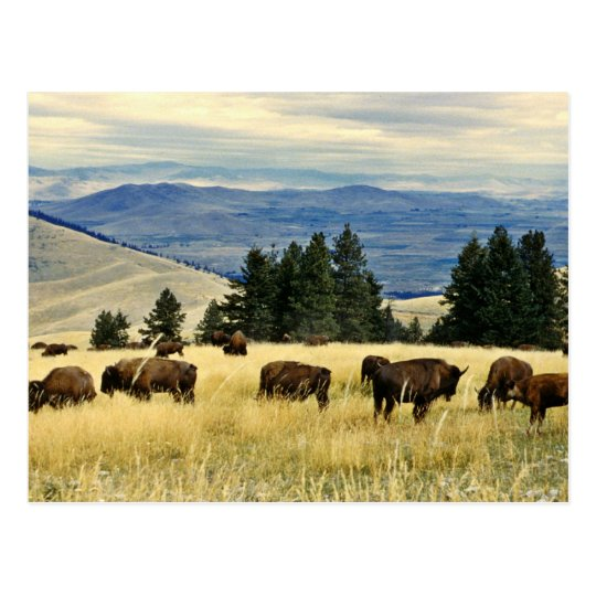 Bison herd grazing at the National Bison Range Postcard