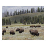 Bison in the Hayden Valley of Yellowstone Poster