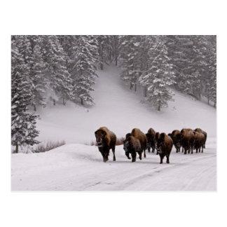 Bison in Winter Postcard