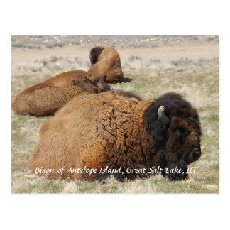 Bison of Antelope Island Postcard