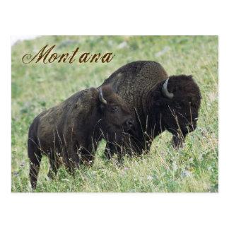 Bison pair grazing in Montana Postcard