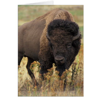 Bison photo card