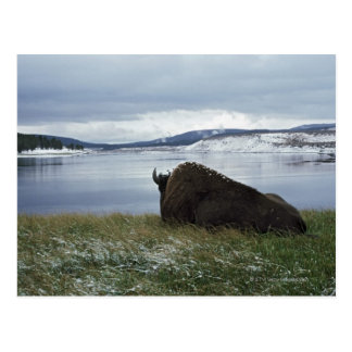 Bison Resting By Yellowstone River With Snow On Postcard