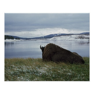 Bison Resting By Yellowstone River With Snow On Poster