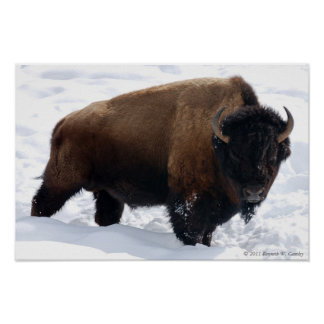 Bison Snow Poster