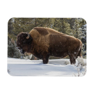 Bison standing in snow magnet