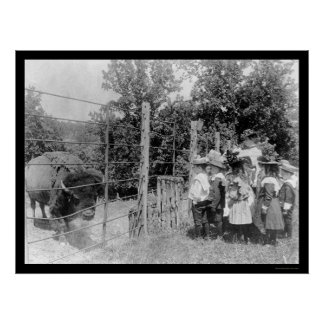 Bison Staring at Children 1899 Poster