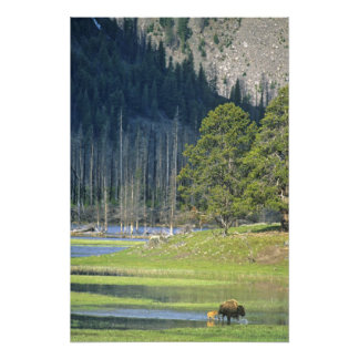 Bison with calf at Yellowstone National Park Photographic Print