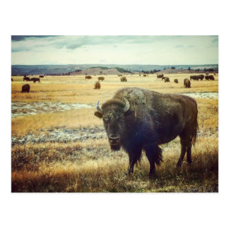 Bison - Yellowstone National Park Postcard