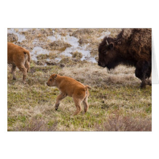 Bisons and calf card