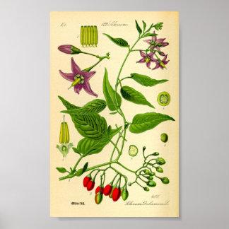 Bittersweet Nightshade (Solanum dulcamara) Poster