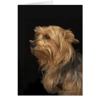 Black and brown Yorkie left profile on black Card