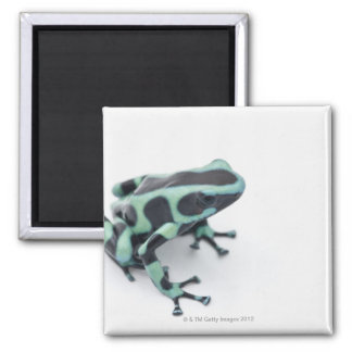 black and green poison dart frog (dendrobates magnet
