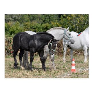 Black and grey Percheron foal in France Postcard