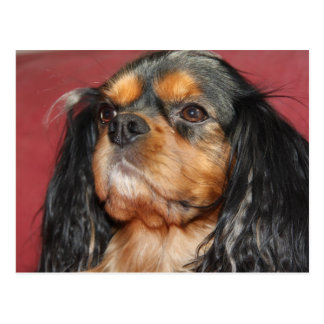 Black And Tan Cavalier King Charles Spaniel Postcard