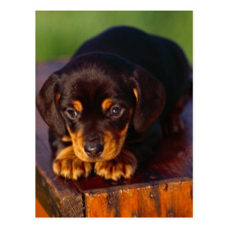 Black And Tan Coonhound Puppy Postcard