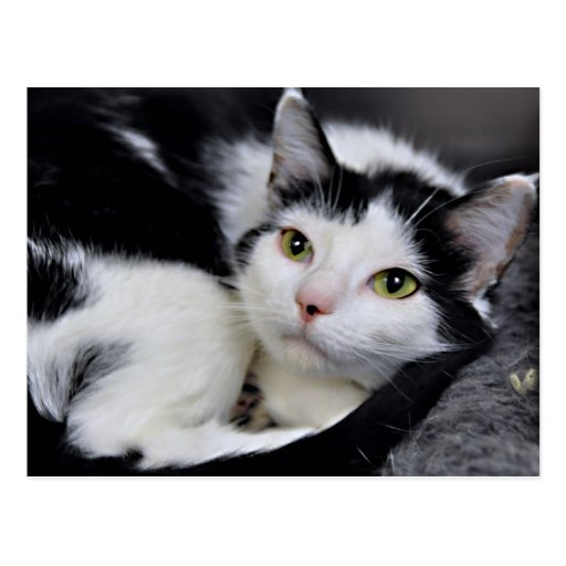 Black and White American Shorthair Cat Postcards | Zazzle