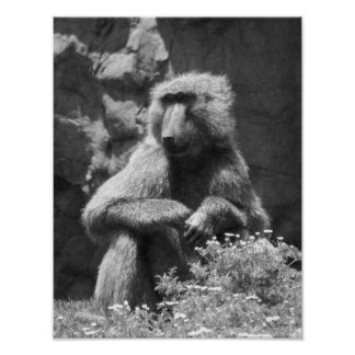 Black And White Baboon Photo Poster