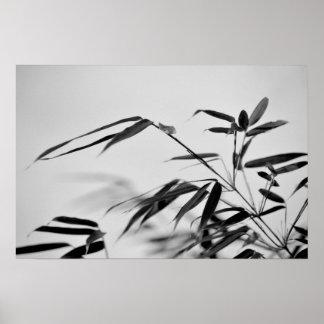 Black and White Bamboo Fargesia dracocephala 'Rufa Poster