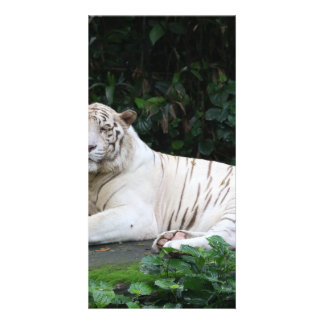 Black and White Bengal Tiger relaxed and smiling Custom Photo Card