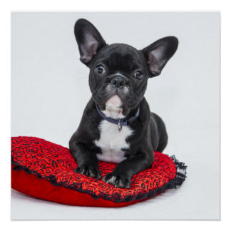 Black and White Bulldog Terrier on Red Pillow Poster