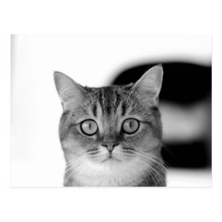 Black and white cat looking straight at you postcard