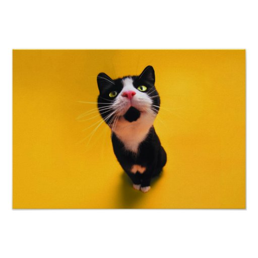 Black and white cat-tuxedo cat-pet kitten-pet cat poster