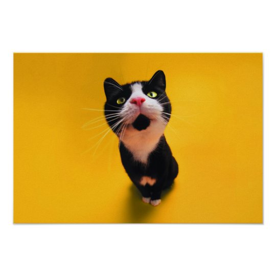 Black and white cat-tuxedo cat-pet kitten-pet cat poster