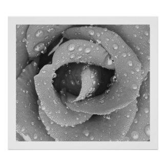 Black And White Closeup Rose With Morning Due Poster
