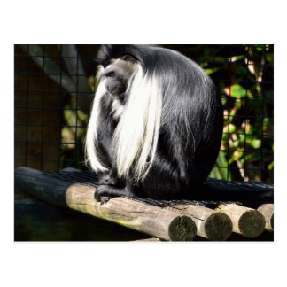 Black and White Colobus Monkey Postcard
