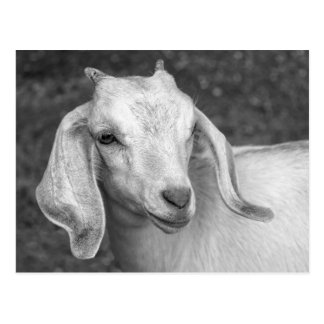 Black And White Goat Postcard