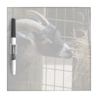 black and white goat with horns eating hay animal dry erase white board