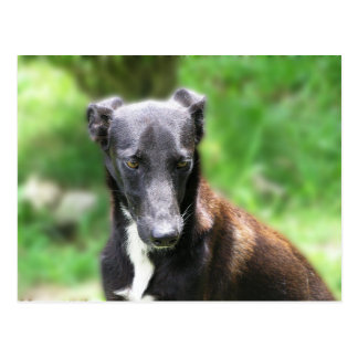Black and White Greyhound dog Postcard