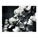 Black and white magnolia postcard