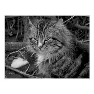 Black and White Maine Coon Cat Portrait Poster