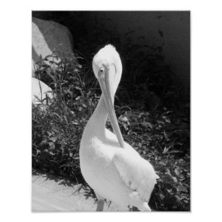 Black And White Pelican Photograph Poster