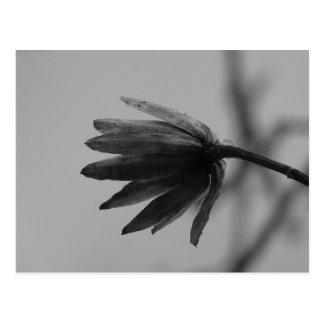 Black and White Poplar Bloom Postcard