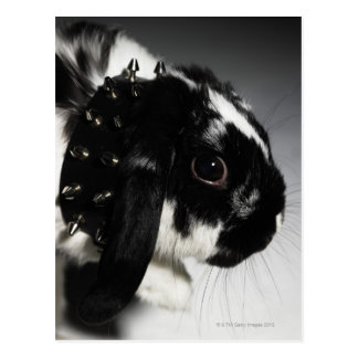 Black and white rabbit with studded collar postcard