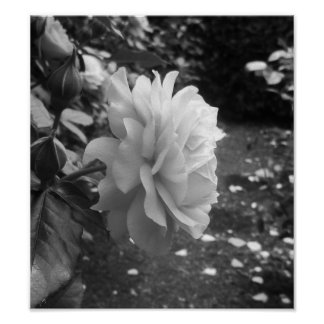 Black And White Rose Photography Poster